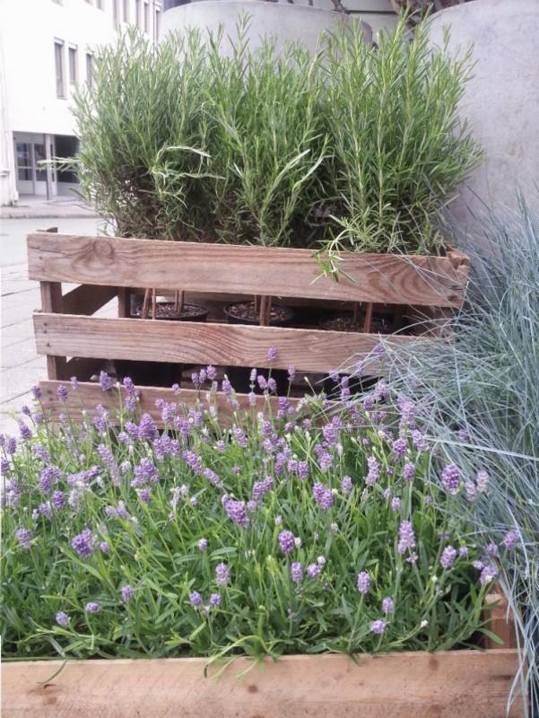 Lavendelens egenskaper