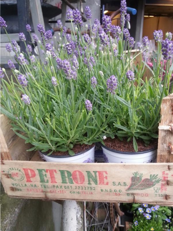 Lavendelens egenskaper er duft og evne til å holde småkryp borte