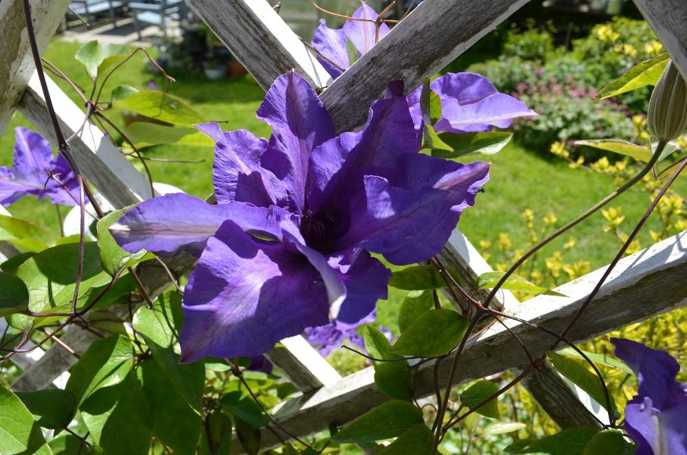 Hagen i juni med Klematis og Filtarve og litt om lus og meldugg