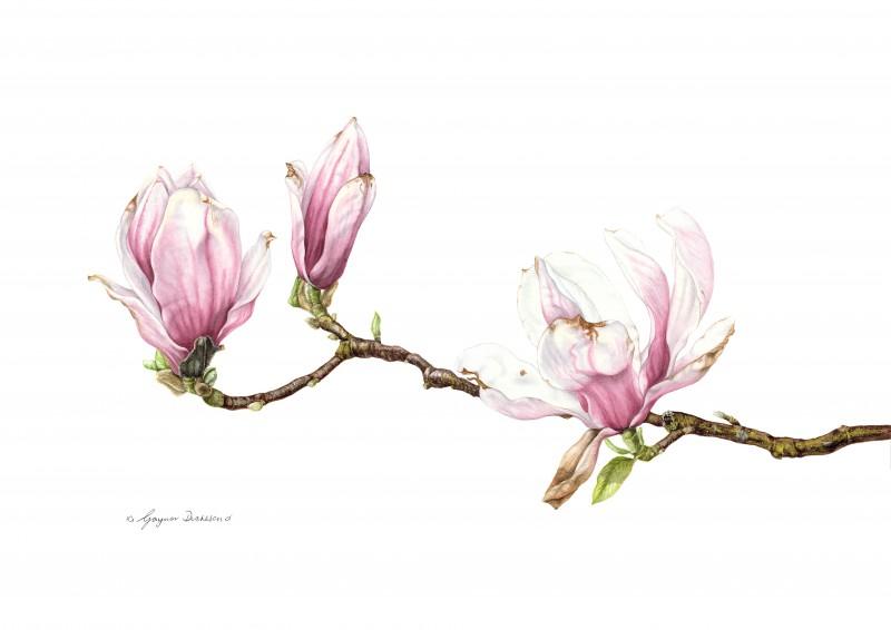 Magnolia by Gaynor Dickeson
